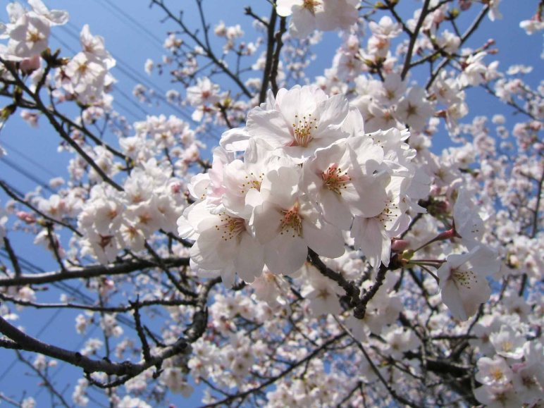 at last sakura web