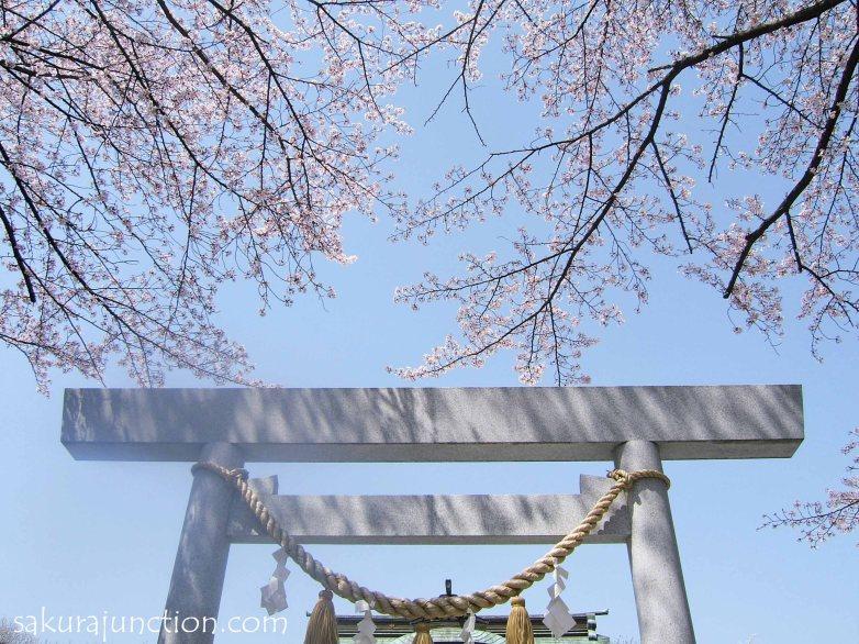 sakura jinjya with c