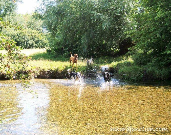 Splashing dogs