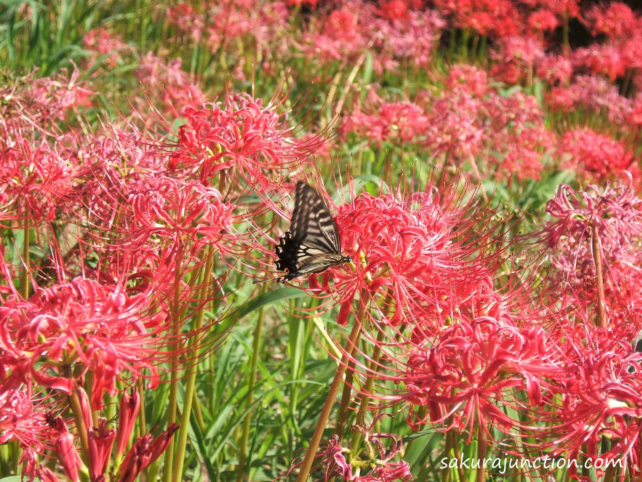 butterfly on Higanbana. '