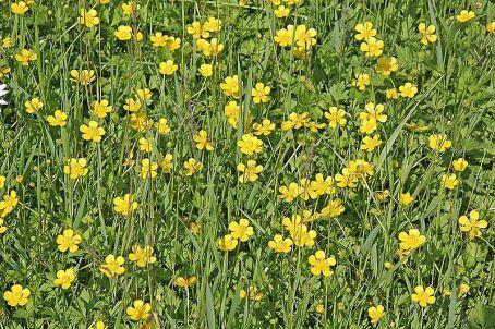 800px-Ranunculus_repens