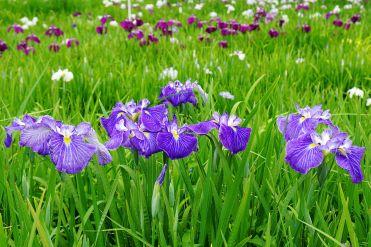 1280px-140614_Yagyu_Iris_Garden_Nara_Japan02bs5