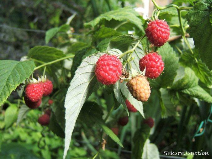Raspberry 11