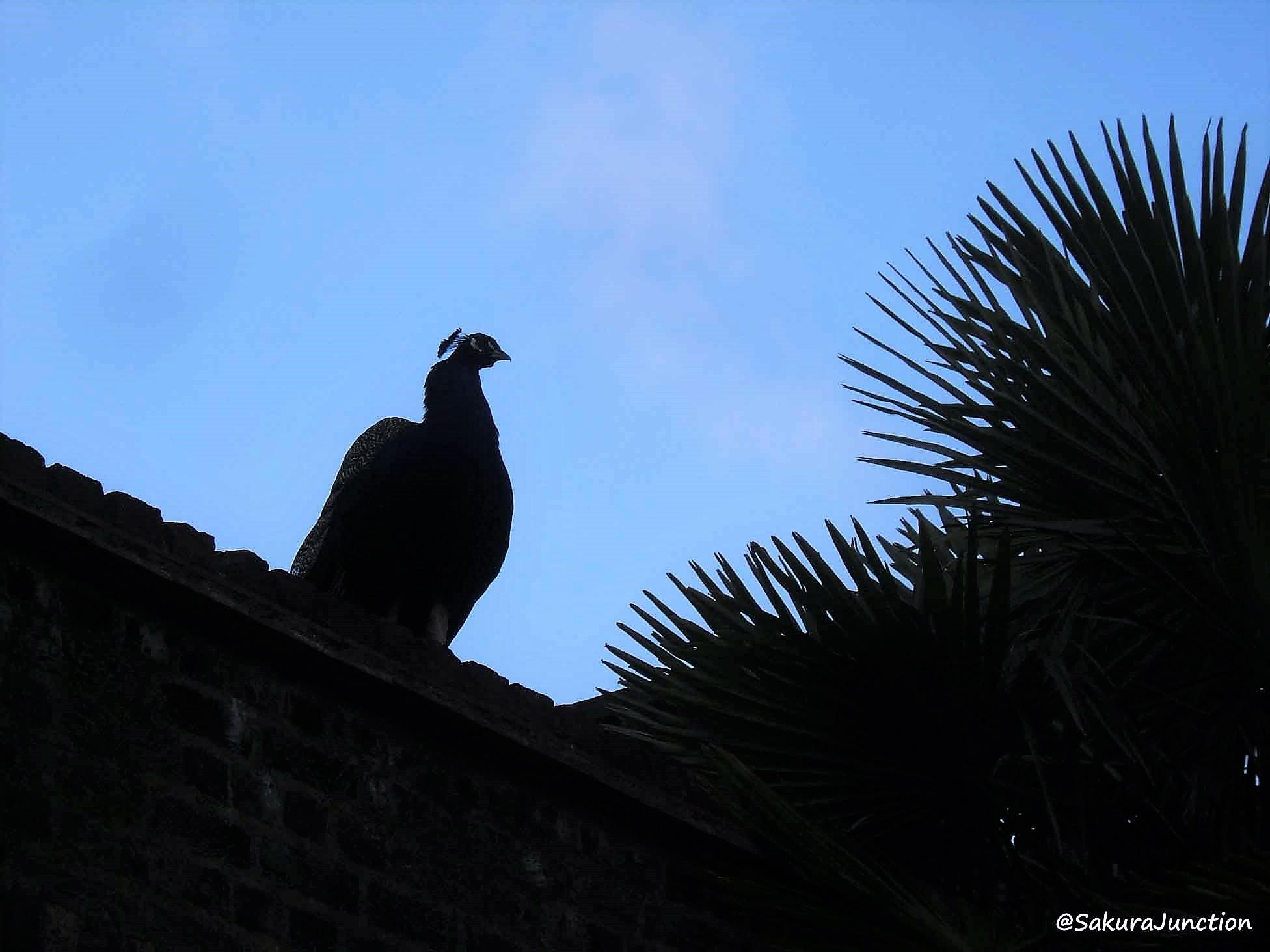 Peacock9-4