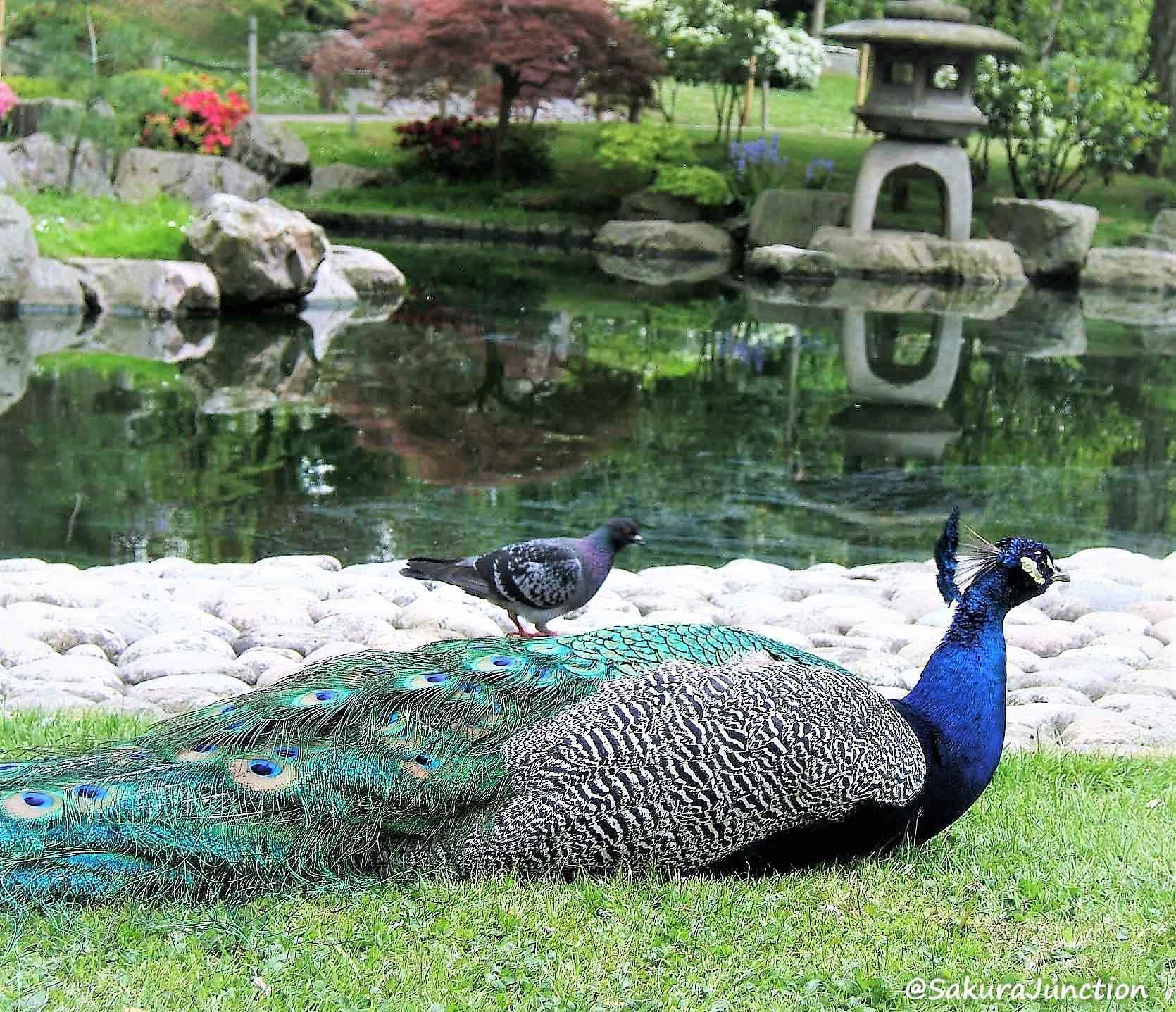 Pigeon on Peacock p