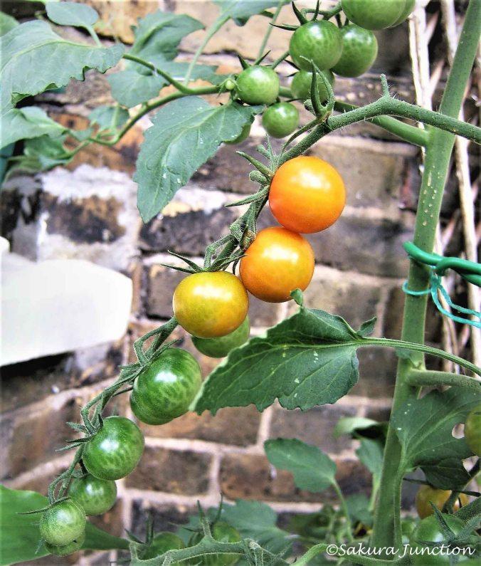 Tomato Gradation