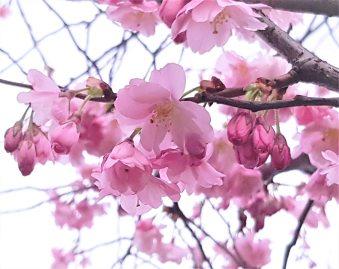Sakura 18