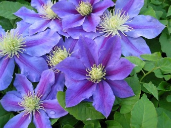 clematis_carnival