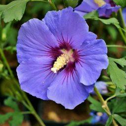 hibiscus-oiseau-bleu2