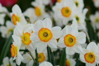 Daffodil-Flower-Record-Group_0a3cc90f-7f51-4a18-bf08-a9a89bb59cb6_x2000_crop_center