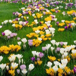 van-zyverden-flower-bulbs-21430-64_1000