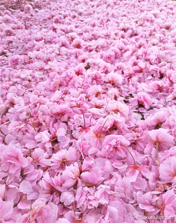 Fallen Sakura