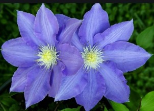 Lilac c2